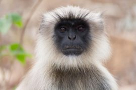 london zoo Langur